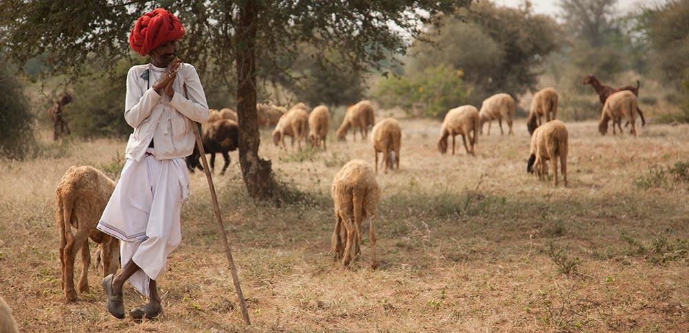 Jawai shepherds